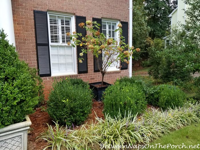 Boxwood Shrubs, Growth over Summer