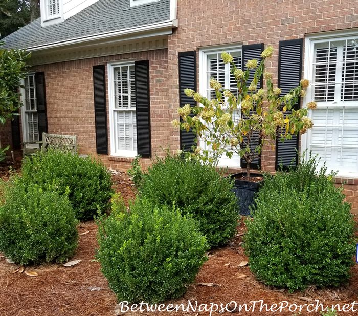 Growth of Boxwoods over a Summer
