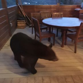 Bear checking out deck in Tennessee