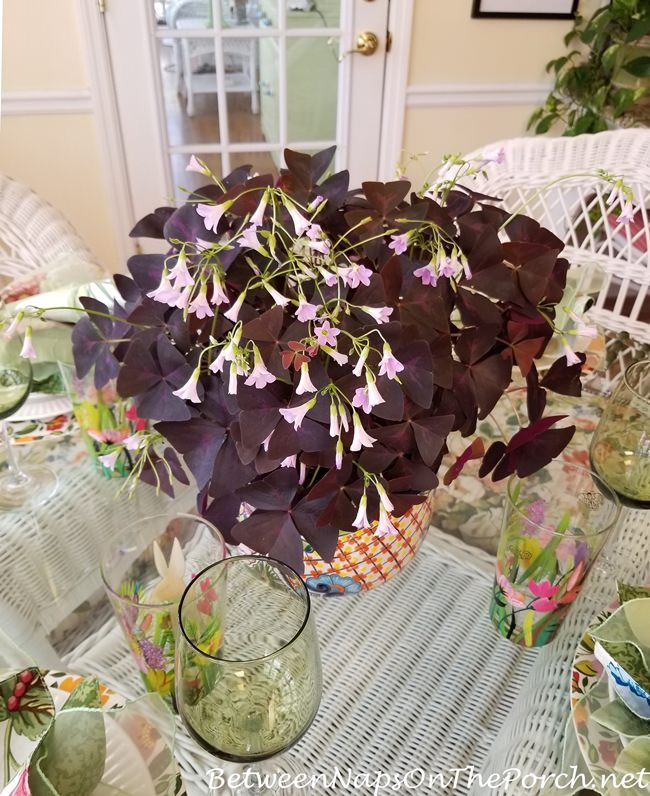Purple Leaf Shamrock, Oxalis Triangularis