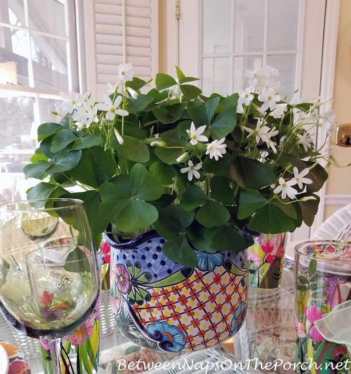 Shamrocks in Floral Planter for St. Patrick's Day and Spring