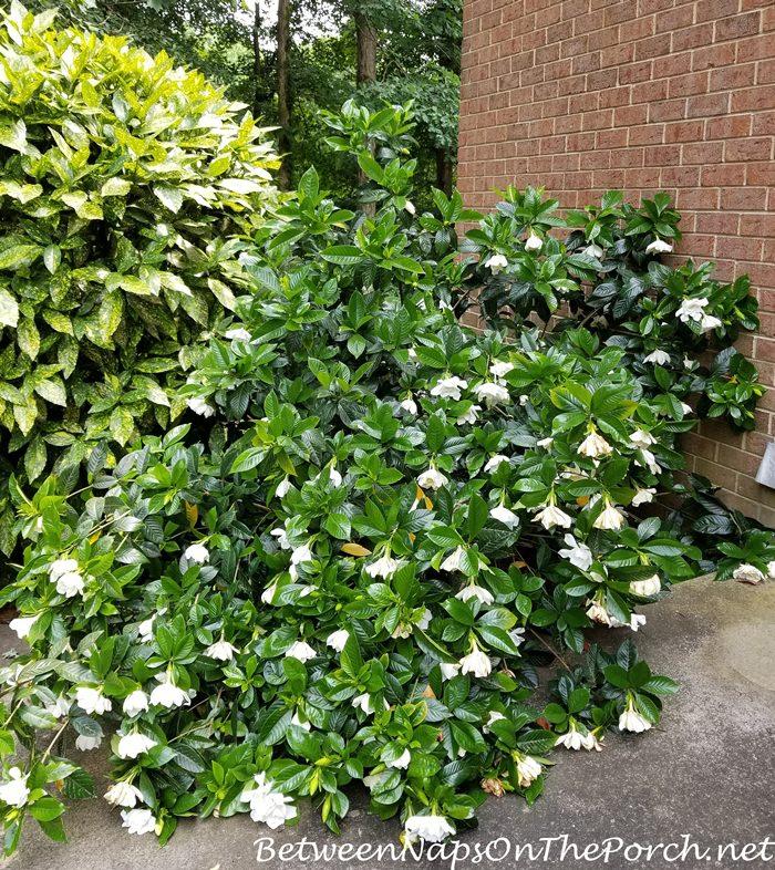 Gardenia Shrub loaded down with flowers