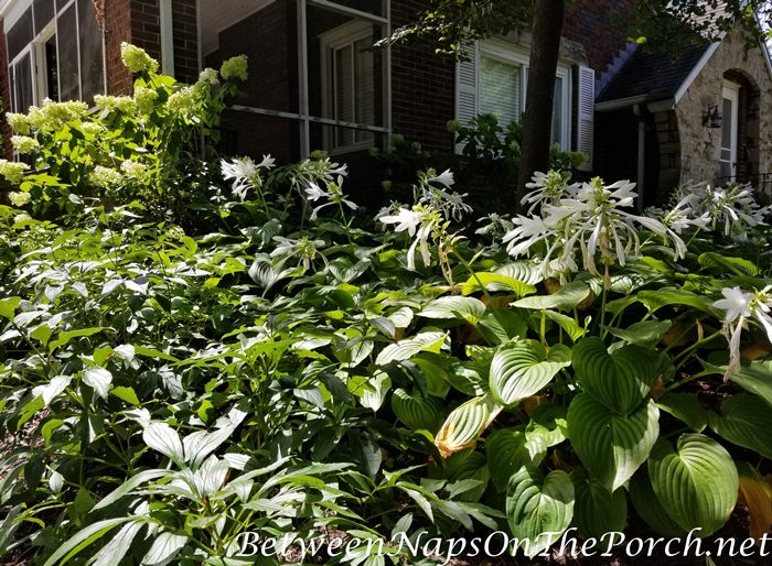 Hostas and Limelight Hydrangeas in Bloom