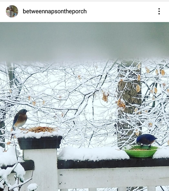 Bluebirds Eating Mealworms on a Snowy Winter Day