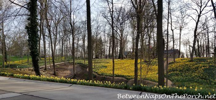Daffodils, Mass Planting