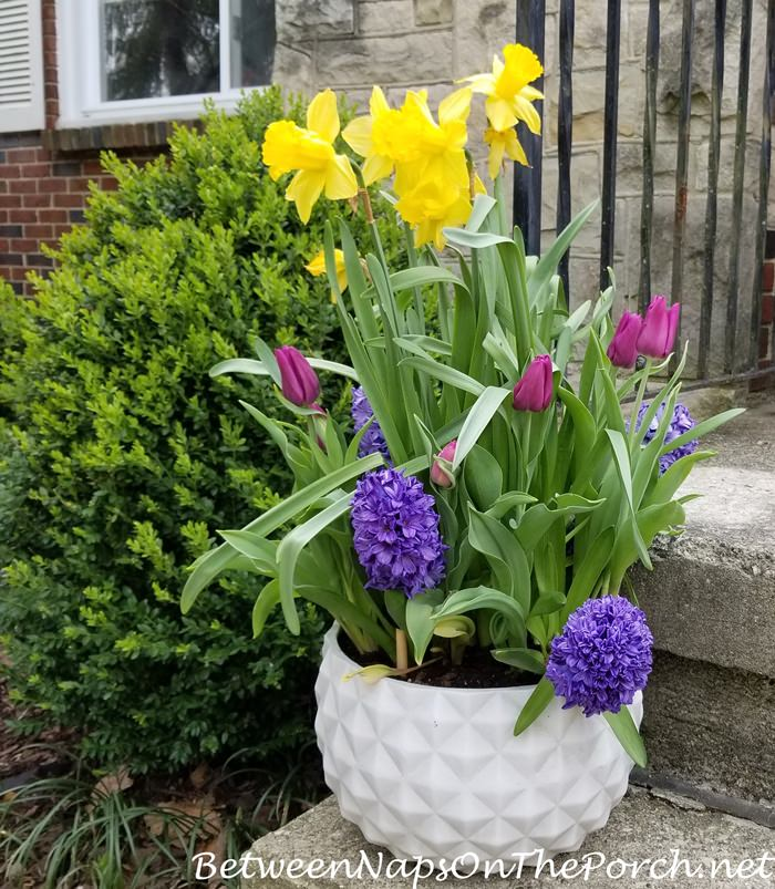 Daffodils, Tulilps, Hyacinths in Spring Planter