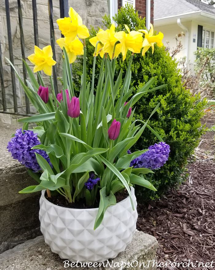 Spring Planter, Daffodils, Tulips, Grape Hyacinths