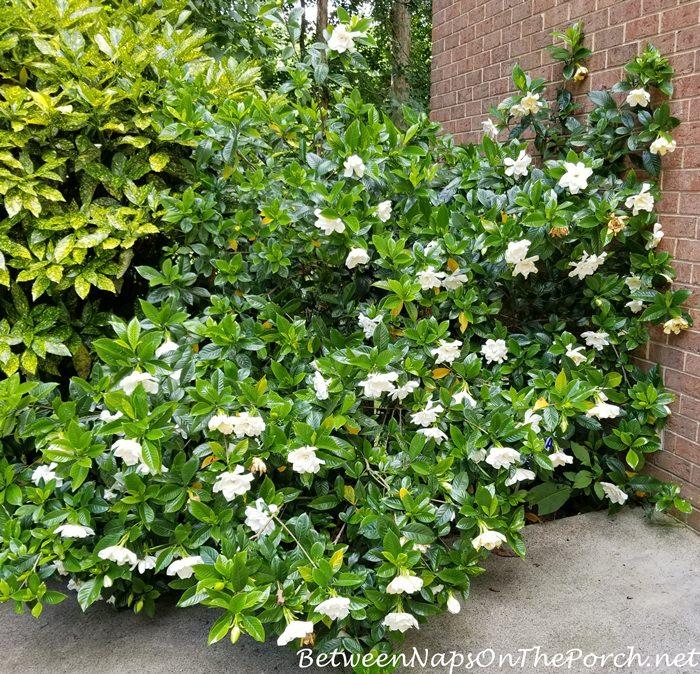 Gardenia Bush in full bloom