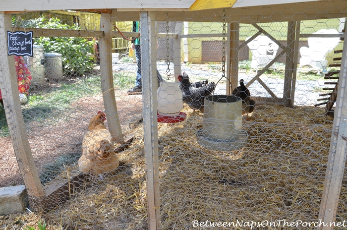 Buff Orpington, Welsummer, Buff Orpington, and Plymouth Barred Rock Chickens
