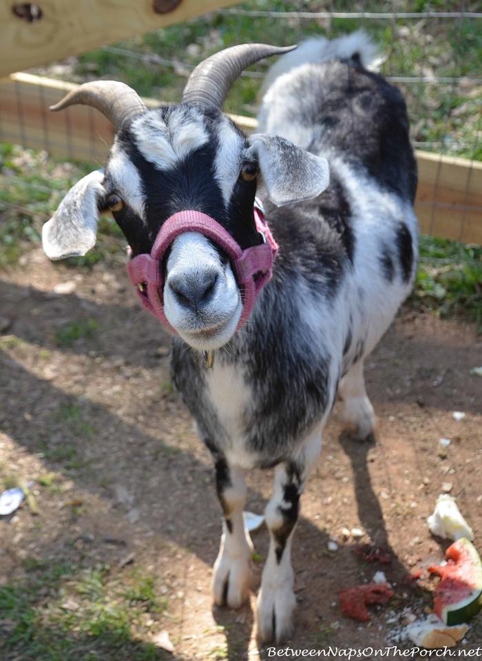 Goat, Urban Coop Tour