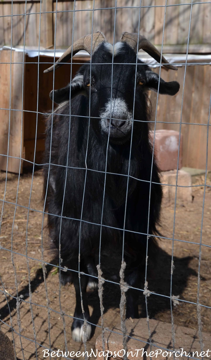 Goat on Urban Coop Tour