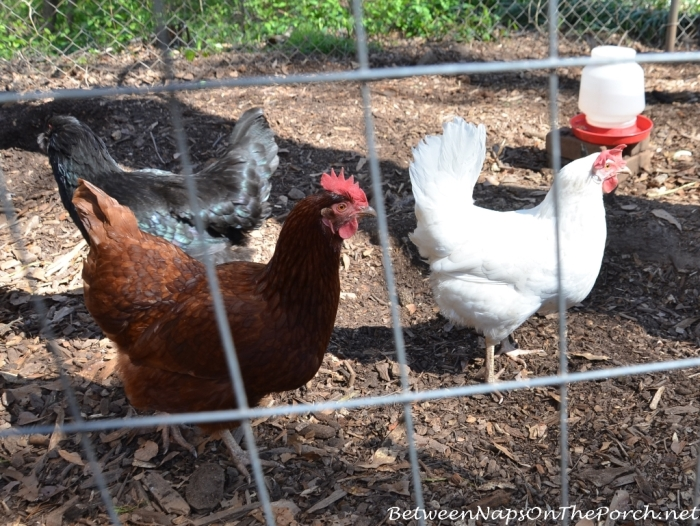 Rhode Island Red, White Leghorn and Black Austrlorp Chickens