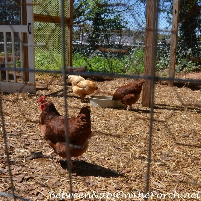 Rhode Island Reds and Buff Orpington Chickens
