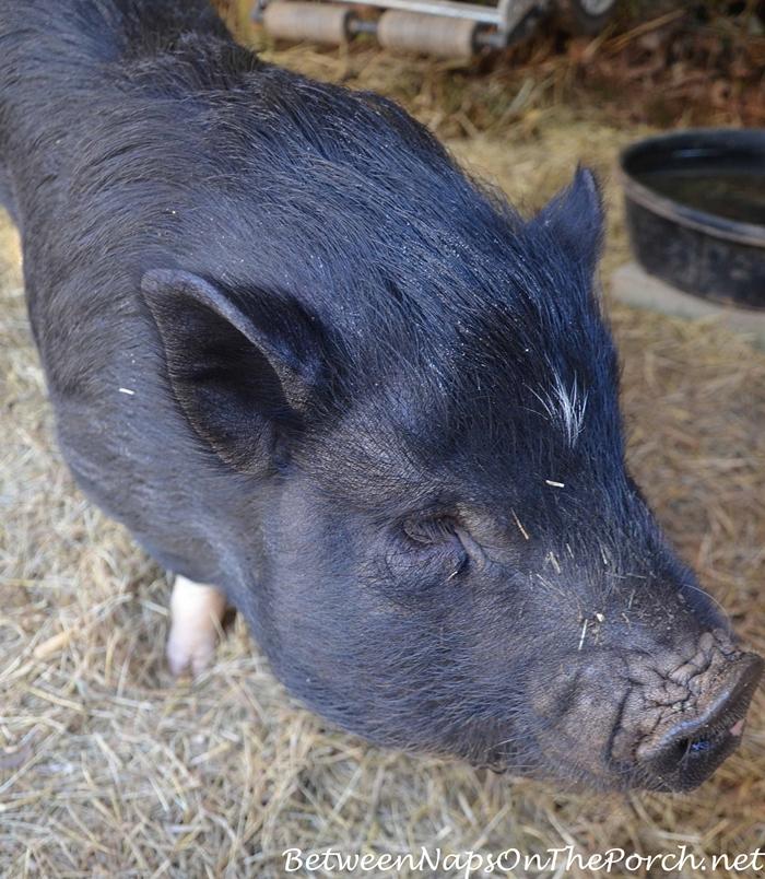 Snoop Hoggy Hogg, a Pot Bellied Pig