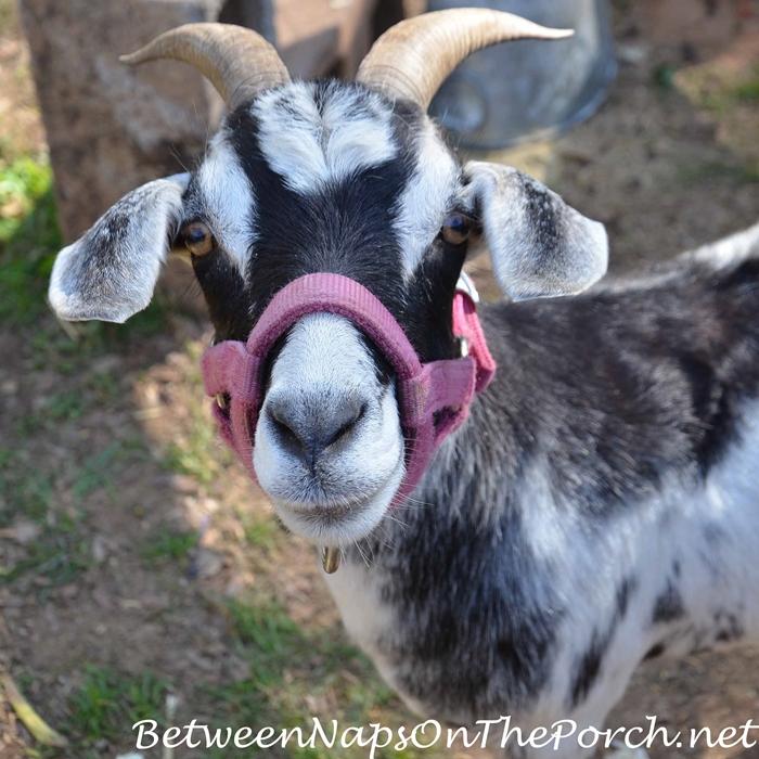Urban Coop Tour, Cute Rescue Goat