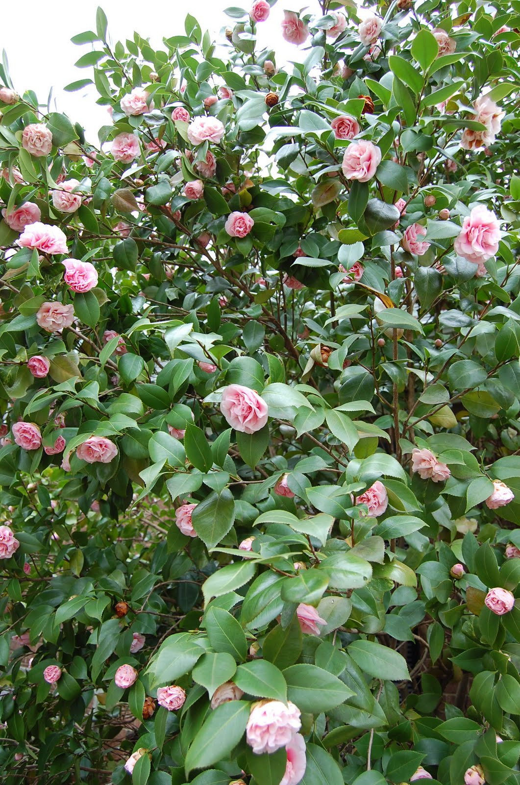 Beautiful Camellias