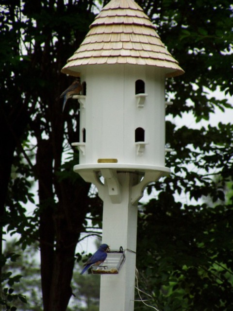 Bluebirds Nesting in Lazy Hill Dovecote