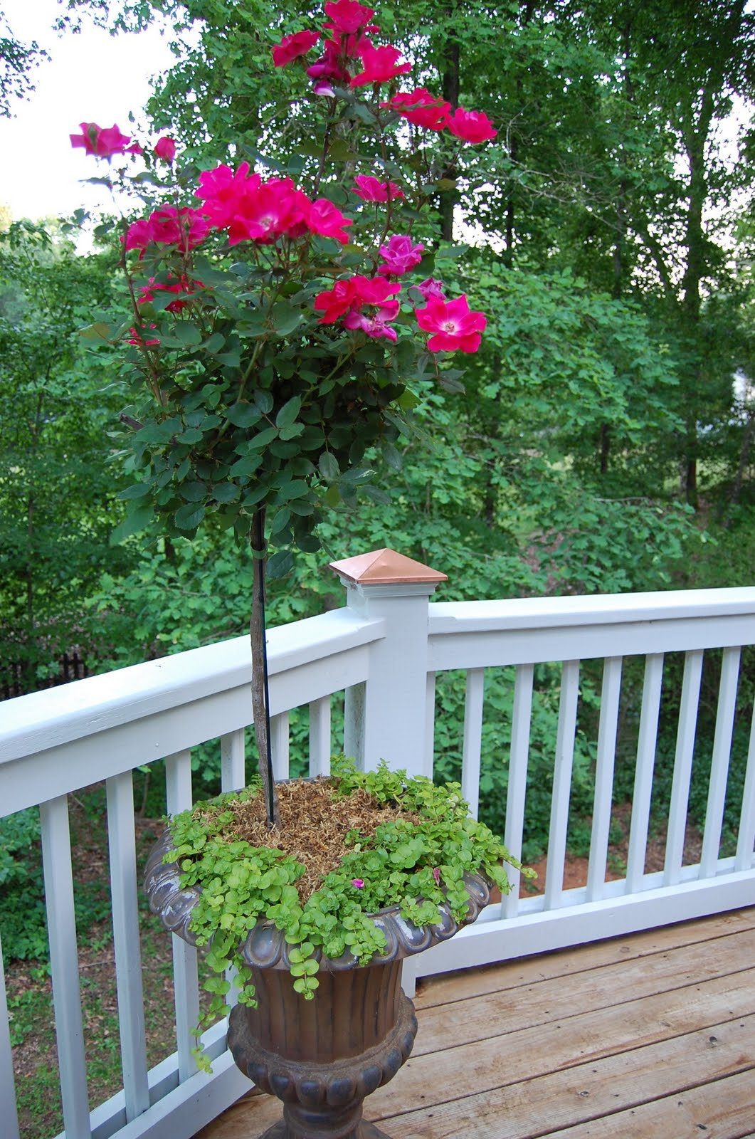 Knockout Rose Trees Knock Out Squirrels
